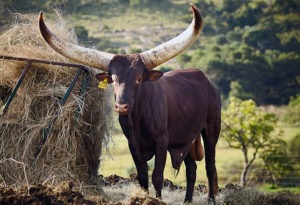 Auction goers catch Ramaphosa's bull for R640 000