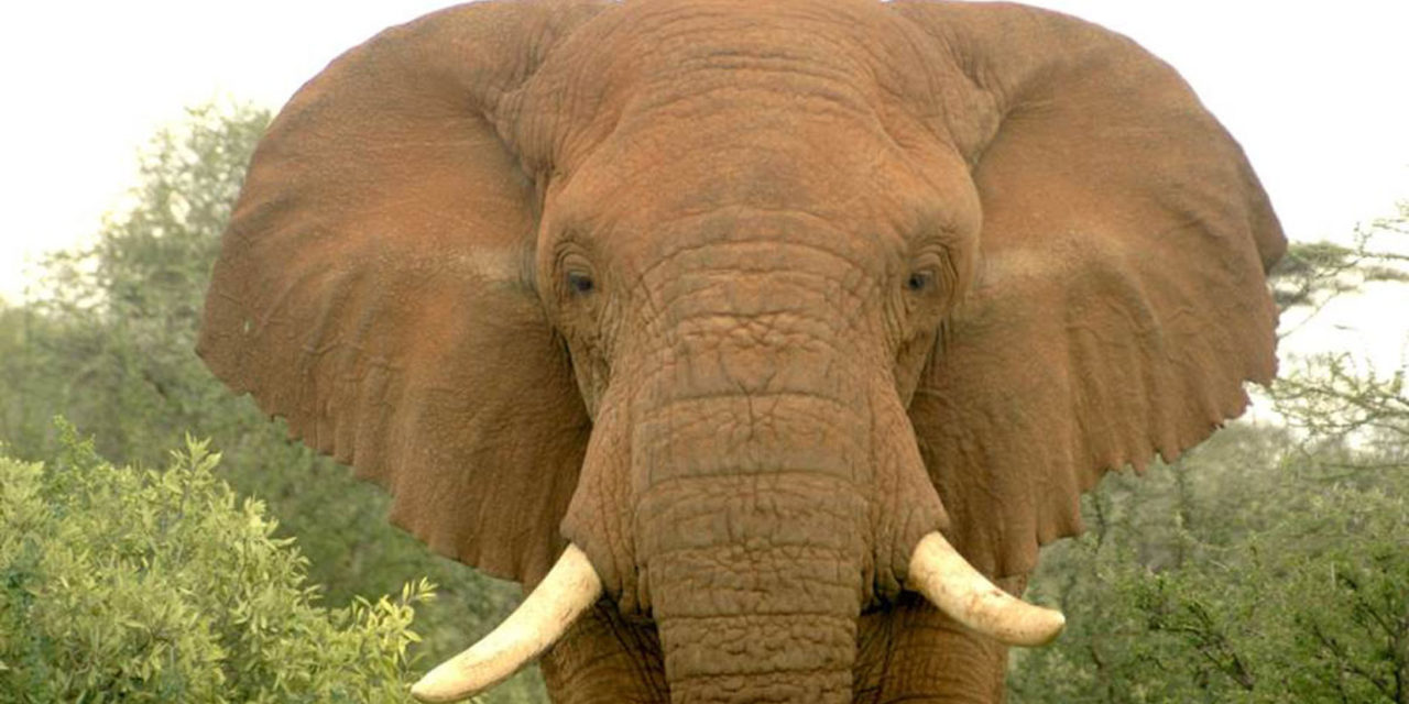 Kruger National Park reports 46% increase in elephant poaching