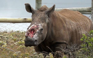 Rhino poaching drops except in Mpumalanga