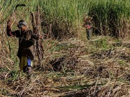 Govt condemns increase in stealing of sugarcane to brew home-made beer