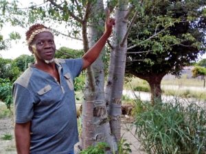 Healers might soon run out of muthi plants due to human settlements